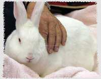 white bunny in a lap